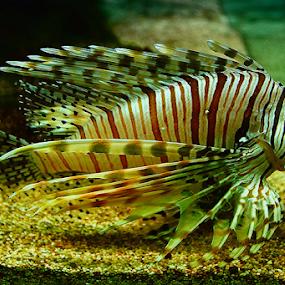 Tiger Fish by Nyoto Nugroho Poospo - Animals Fish
