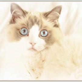 Here I am... by Miranda Luyckx - Animals - Cats Kittens ( cats, mozart, ragdolls )
