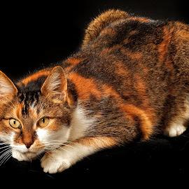 Portrait of a Cat by John Phielix - Animals - Cats Portraits ( cat, pet, dark, mammal, animal,  )