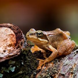 Jumping power..! by Svein Erik Bakken - Animals Amphibians ( nature, tree, frog, amphibian, nature up close, animal )