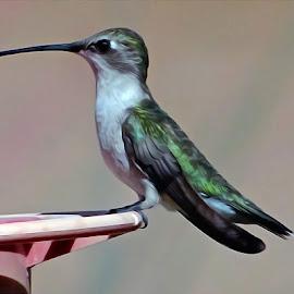 Humming Bird - Digital Oil by Steven Aicinena - Digital Art Animals (  )