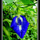 Blue Butterfly Pea Flower