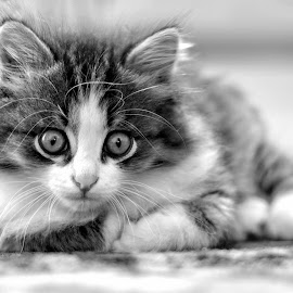 by Sergey Kuznetsov - Black & White Animals ( cat, black and white, beautiful, cute, animal )