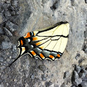 Tiger swallowtail butterfly?