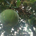 Jabong Fruit