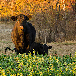 Cow At Sunset by Sue Matsunaga - Novices Only Wildlife