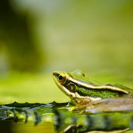 All Green by Ah Zai - Animals Amphibians ( resting, nature, frog, green, penang, garden )