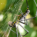 Golden Orb Web Weaver Spider