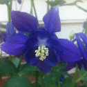 Blue Barlow columbine