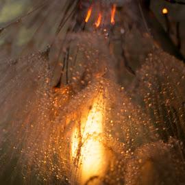 Dandelion on Fire by Renier Van Niekerk - Novices Only Macro ( dandelion, dandelions, flower, fire, flame )
