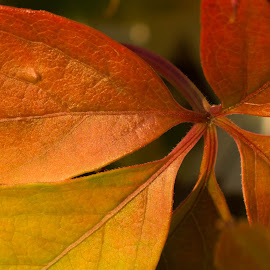 Autumnal Virginia Creeper by Tammy Drombolis - Nature Up Close Leaves & Grasses