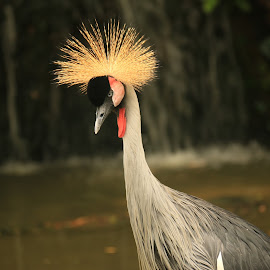 Nice Yellow Crown by Michael Loi - Novices Only Wildlife ( bird, crown, sg, bird park,  )