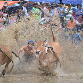by Shashank Pattekar - Novices Only Sports ( farm, bukittingi, sumatra, indonesia, cow-racing )