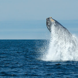 Humpback Whale breaching by Wade Tregaskis - Animals Sea Creatures ( humpback, breaching, ocean, whale, whitewater )