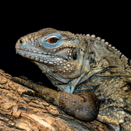 Iggy 2 by Gregg Pratt - Animals Reptiles ( blue iquana )