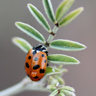 Harlequin ladybird, Asian lady beetle or Japanese ladybug