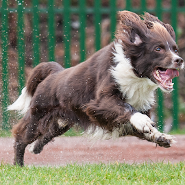 by Michael  M Sweeney - Animals - Dogs Running ( springer spaniel, michael m sweeney, dog )