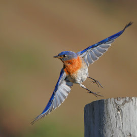 Bluebird Take-Off by Tim Harding - Animals Birds ( field, barrie, summer, in flight, eastern bluebird,  )