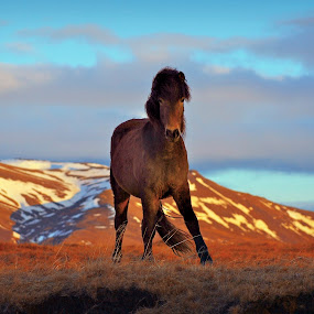 The Stallion by Kristján Karlsson - Animals Horses ( stallion, mountain, horse, spring )