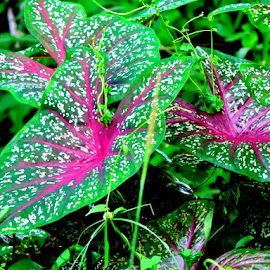 Caladium by Yusop Sulaiman - Nature Up Close Leaves & Grasses