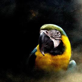 Ara by Bjørn Borge-Lunde - Digital Art Animals ( bird, wilderness, nature, parrots, parrot, wildlife, birds )