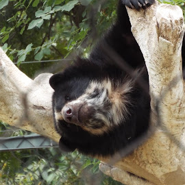 Andean Bear hanging out in tree. by Donna Probasco - Novices Only Wildlife (  )