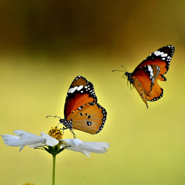 Couple by Muhammad Farooq - Animals Insects & Spiders