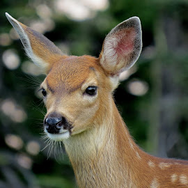 Sweet Black-tailed fawn by Debbie Stika - Animals Other Mammals