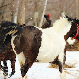 frisky by Eva Andersen Hanson - Animals Horses