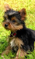 Screenshot of Yorkshire Terrier LWP
