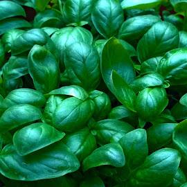 my precious by Emina Dedić - Food & Drink Ingredients ( green, joy, happiness, kitchen, culinary, basil, love, tasteful, herb, food, gardening, cooking, ingredient, garden )