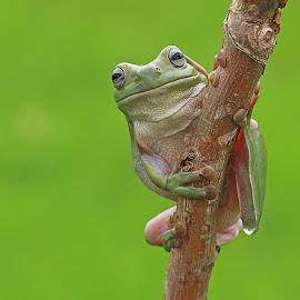 Hello World by Thomp Jerry - Animals Amphibians ( animals, macro, macrophotography, frog, amphibians )