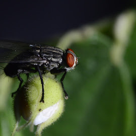 Sleeping Fly by Joey Ramos - Novices Only Macro ( sleeping fly, macro, fly, sleeping, buds )