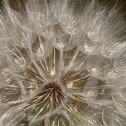 Yellow Salsify (seed head)