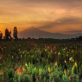 Flowersfield and Volcano by Cristobal Garciaferro Rubio - Landscapes Sunsets & Sunrises ( volcano, sunset, flowers, flower )