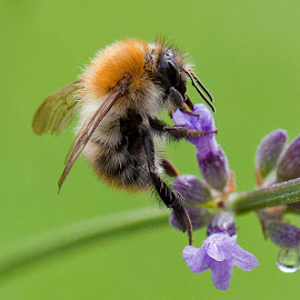 Acrobatic Bee by Clive  Rees - Animals Insects & Spiders ( bee, feeding, vale boy, lavender, insect, clive rees, flower )