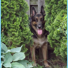 My German Shepard by Donna Pavlik - Animals - Dogs Playing