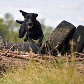 Superdog by Sharen Madge - Animals - Dogs Running ( dogs, jumping, dog, labrador, running, black )