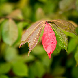 One Red Leaf by Michael Holmes - Nature Up Close Leaves & Grasses ( plant, red, fall, bush, leaf )