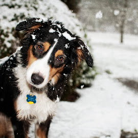 Cricket's First Snow by Morgan Baumgartner - Animals - Dogs Puppies ( #australian shepherd, #aussie, #snowdog )