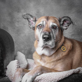 qUEEN wINNIE  by Janice Carabine - Animals - Dogs Portraits ( dog portrait, senior dog, oil painting, regal )
