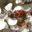 Ladybird mimic Jewel beetle (♀)