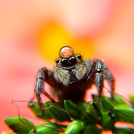 my crown by Hendrata Yoga Surya - Instagram & Mobile Android ( jumping spider )