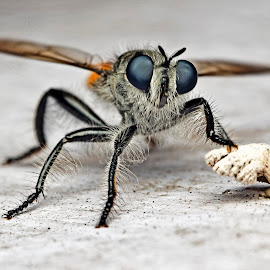 Robberfly by Lim Andy - Animals Insects & Spiders ( macro, other, nature, insect, robberfly )