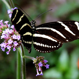 Striped Butterfly by June Morris - Animals Insects & Spiders ( butterfly, animals, spiders, striped, insects, photography )