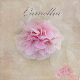 Camellia by Judy Hall-Folde - Typography Captioned Photos ( nature, tree blossoms, petals, flora, textures, pink, camelia, natural, floral, flower, pink camelia )
