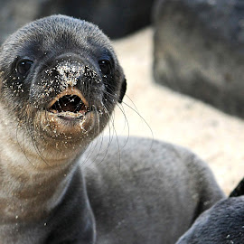 Are You My Mommy? by Sue Cullumber - Animals Other ( sea lion, baby, galapagos, cute, young, mammal, animal )