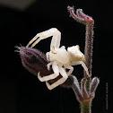 crab spider white