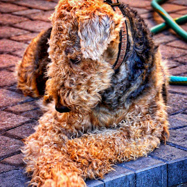 Sara by Jim Antonicello - Animals - Dogs Portraits ( terrier, dog, airedale )