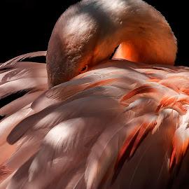 Pretty in Pink by Heather Allen - Animals Birds ( bird, orange feathers, hiding, flamingo, pink, feathers )